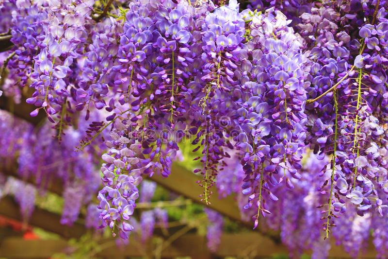 Purpere wisteriabloemen, Bean Tree, Chinese Wisteria, Purpere Wijnstok royalty-vrije stock afbeeldingen
