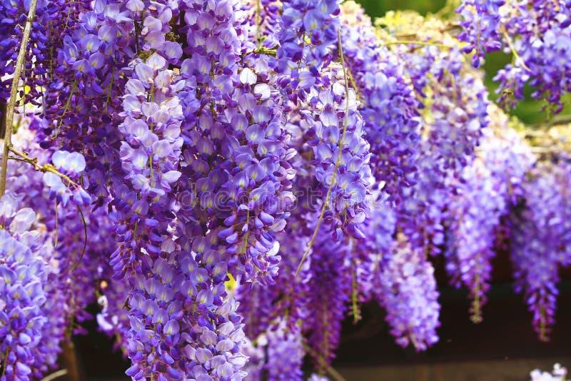 Purpere wisteriabloemen, Bean Tree, Chinese Wisteria, Purpere Wijnstok stock foto's