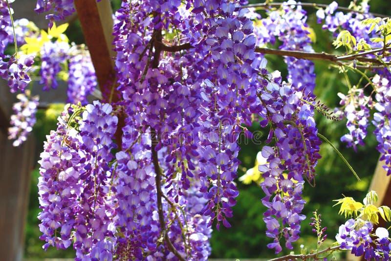 Purpere wisteriabloemen, Bean Tree, Chinese Wisteria, Purpere Wijnstok royalty-vrije stock foto