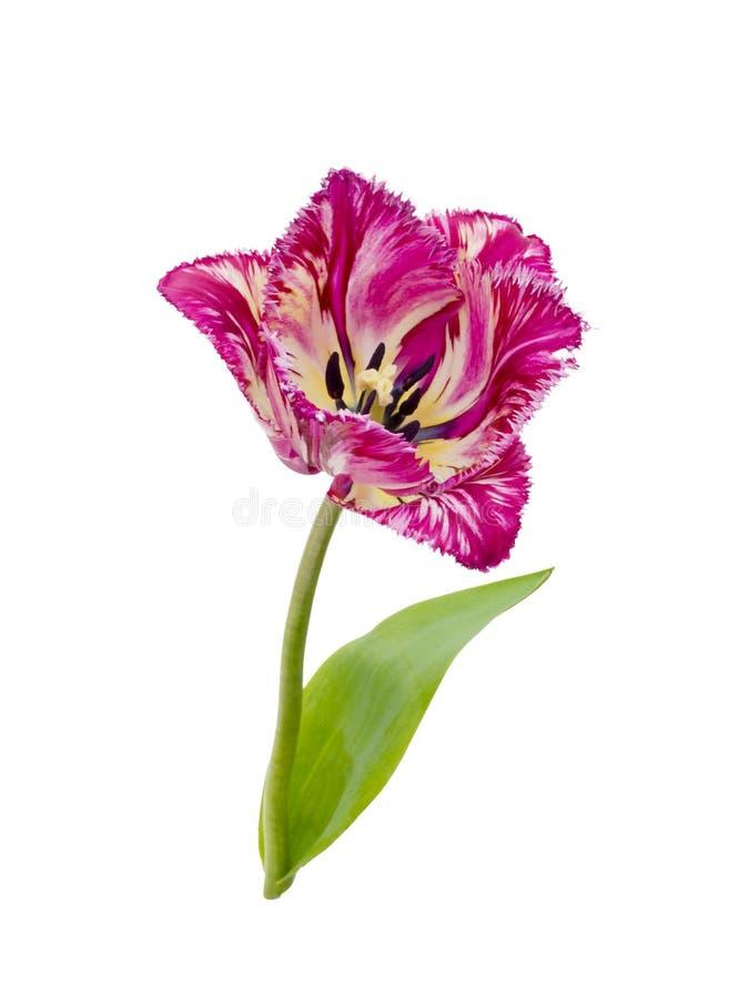 Purpl franjou a tulipa fotos de stock royalty free