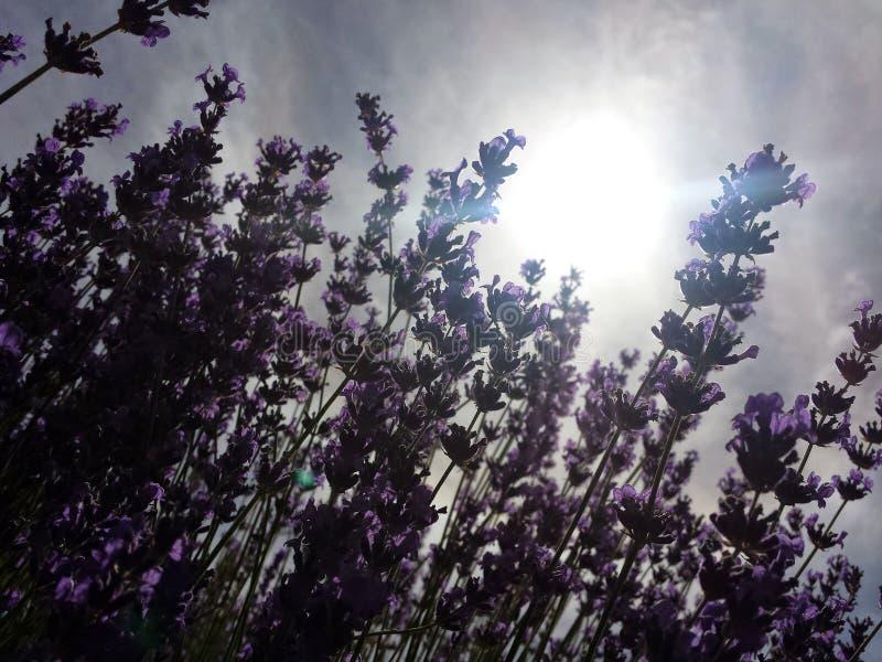 Purple stock afbeelding