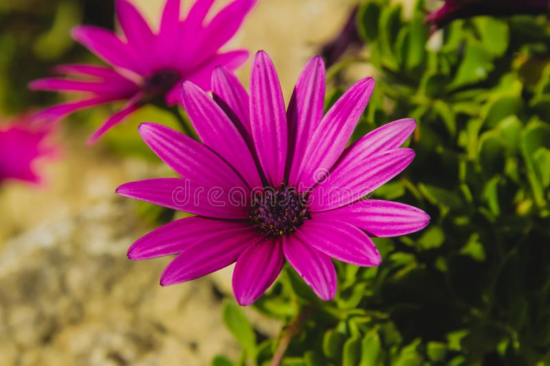 Purple african daisies. Close-up of the purple african daisies in the garden royalty free stock photo