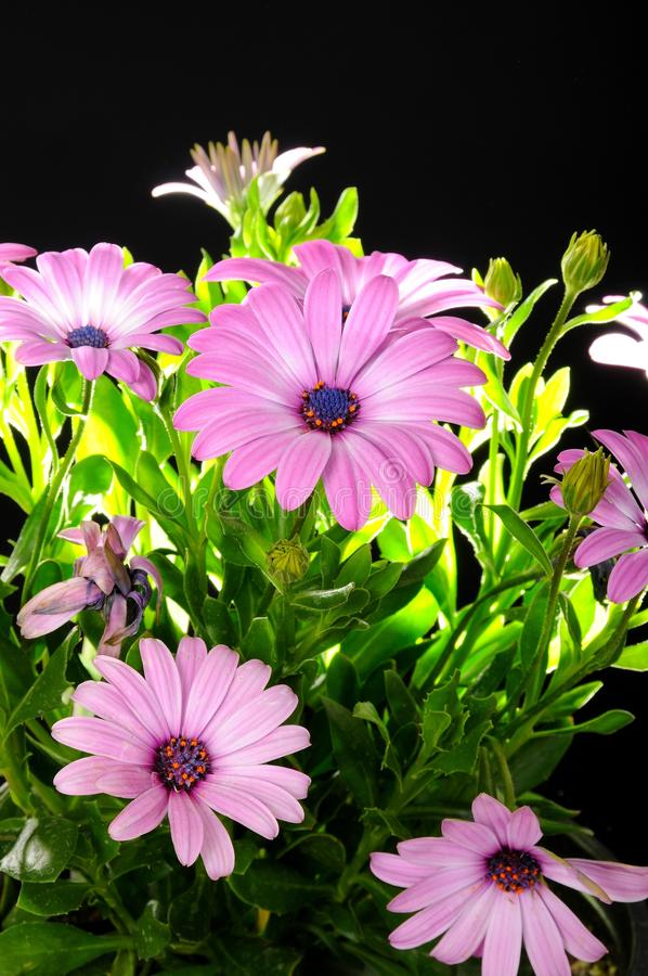 Purple African Daisy. Purple Osteospermum Flowers isolated on black background (African Daisy stock photography