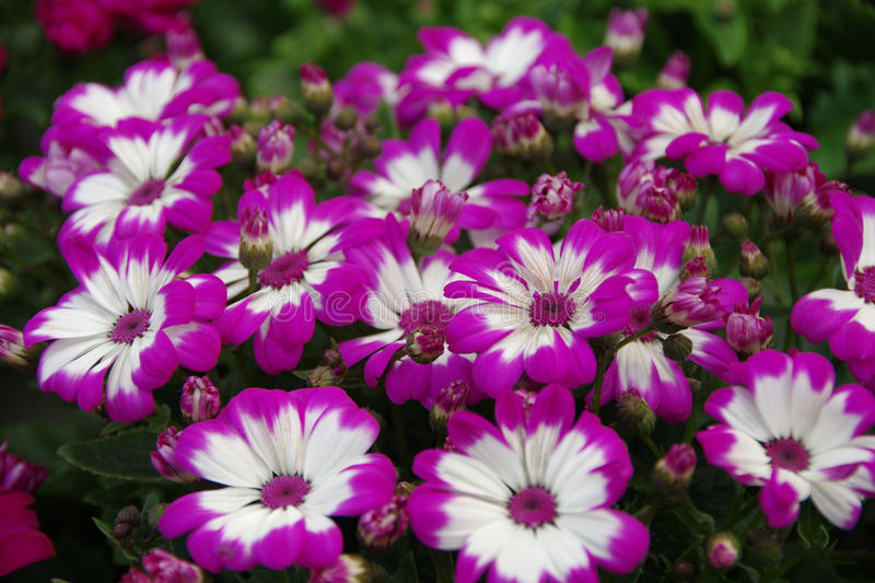 Purple African daisy. This is purple African daisy stock photos