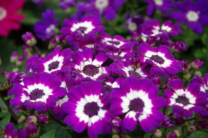 Purple African daisy. This is purple African daisy royalty free stock photos