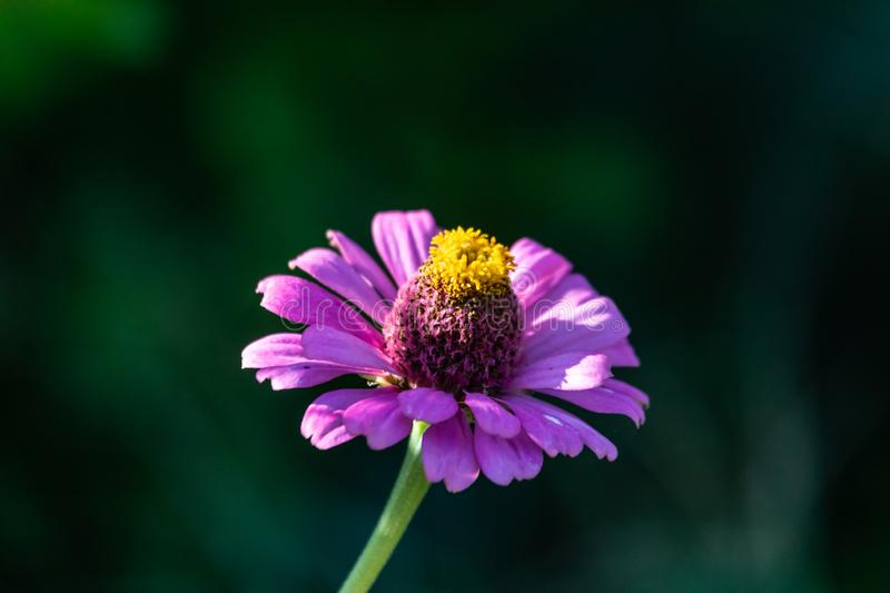 Purple African Daisy bloom closeup. From the garden of Berry Springs Georgetown Texas royalty free stock image