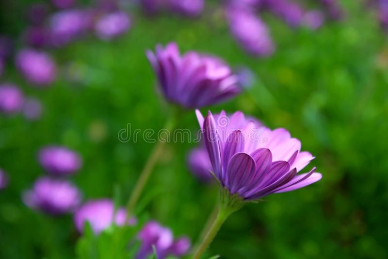 Purple African Daisy bush meadow in bloom. The beautiful Ultra Violet or Purple African Daisy Bush flower meadow is in full bloom in early spring at California stock images
