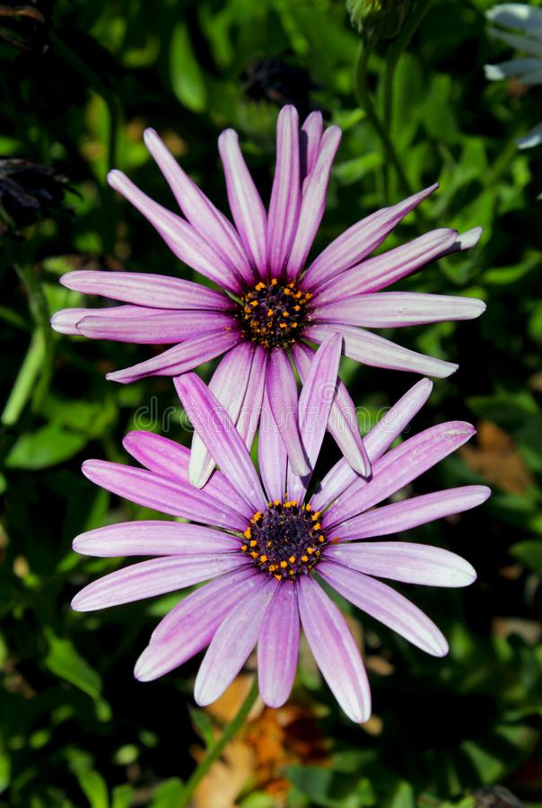 Purple African Daisy bush meadow in bloom. The purple flowers of African daisy is in full bloom. Osteospermum, is a genus of flowering plants belonging to the stock image