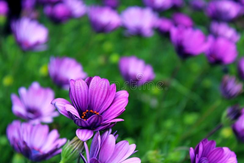Purple African Daisy bush meadow in bloom. Purple or ultra violet color African Daisy bush meadow are in full bloom in early Spring at San Diego, California stock image