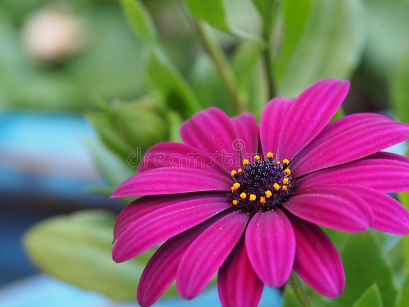 Purple African daisy royalty free stock photography