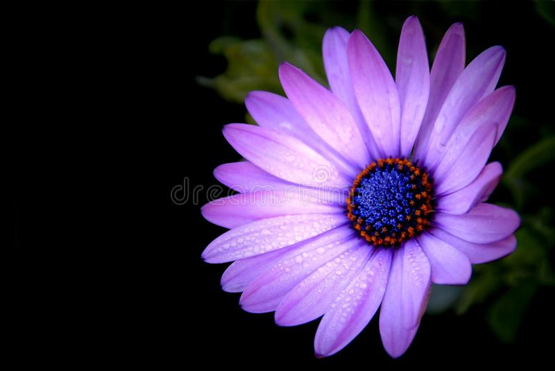 Purple African Daisy in garden Osteospermum Ecklonis on blac. K background royalty free stock image
