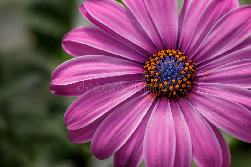 Purple African Daisy on green background. In summer royalty free stock images