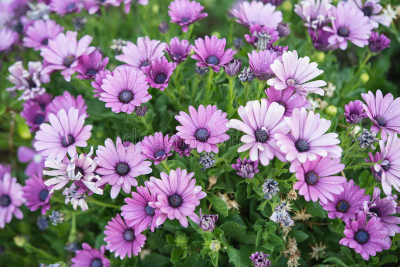 Purple African Daisy ( Osteospermum Ecklonis ). With Green Leaf Background stock image