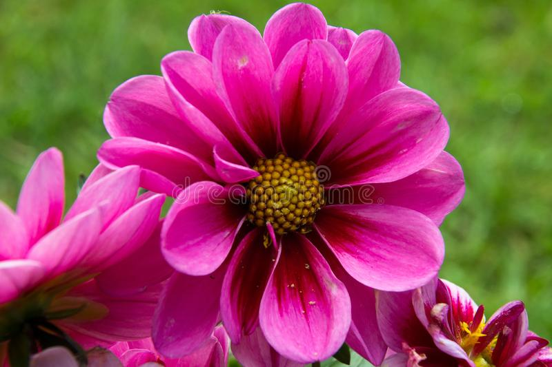 Purple African daisy, or osteospermum, in full bloom. In a Hertfordshire garden stock photography