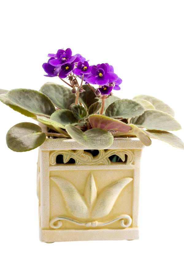 Purple african violet. In the decorative pot stock photography