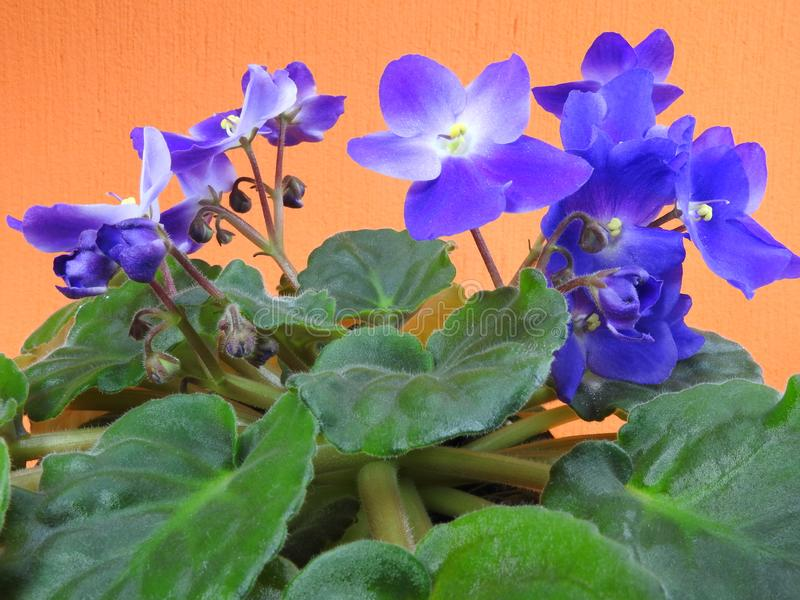 Close-up of some purple African violets with green leaves. Purple African violets Saintpaulia ionantha with green leaves. Some are blooming and some are still stock images