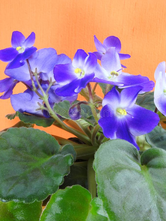 Close-up of some purple African violets with green leaves. Purple African violets Saintpaulia ionantha with green leaves. Some are blooming and some are still royalty free stock photo