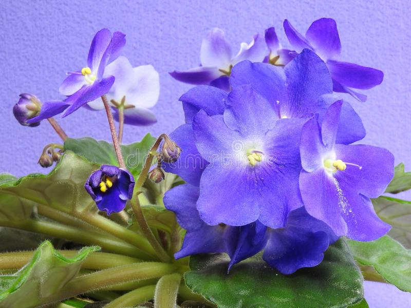 Some purple African violets with green leaves. royalty free stock images