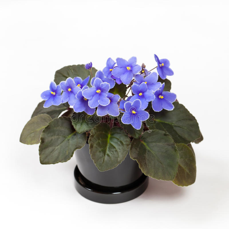 Purple African Violets. On a white background. Selective focus royalty free stock image