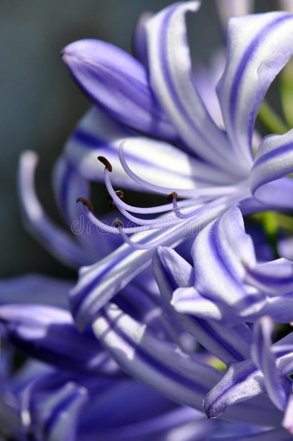 Purple Agapanthus. A macro of a purple agapanthus flower royalty free stock photos