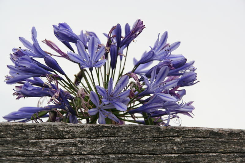 Purple agapanthus. Purple agapanthus by a wooden fence royalty free stock image