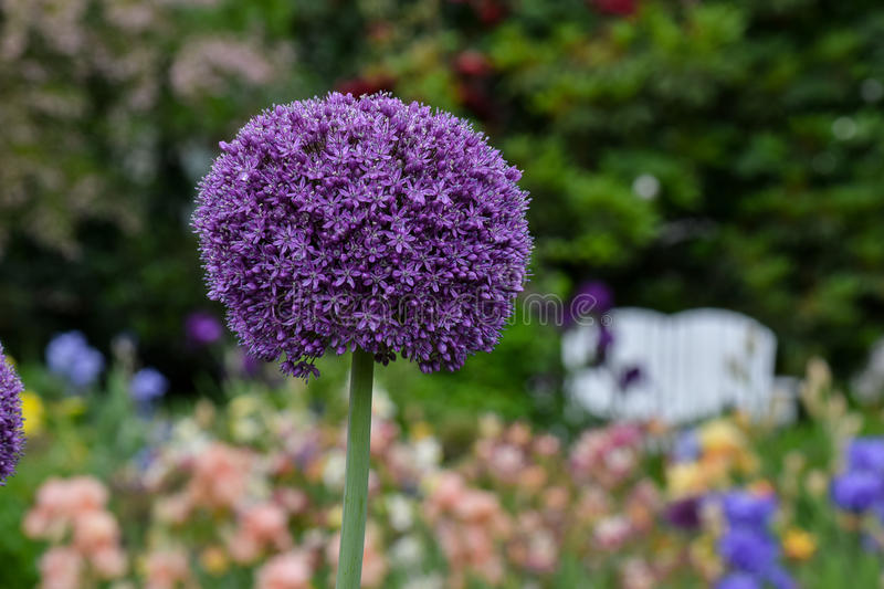 Purple Alium. Single Purple Alium flower ball, colorful, blurred background royalty free stock image