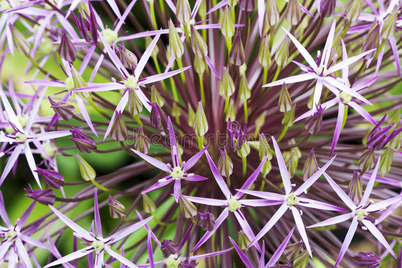 Purple Allium. Macro image of purple Allium flower, selective focus useful for background or illustrating concepts stock images