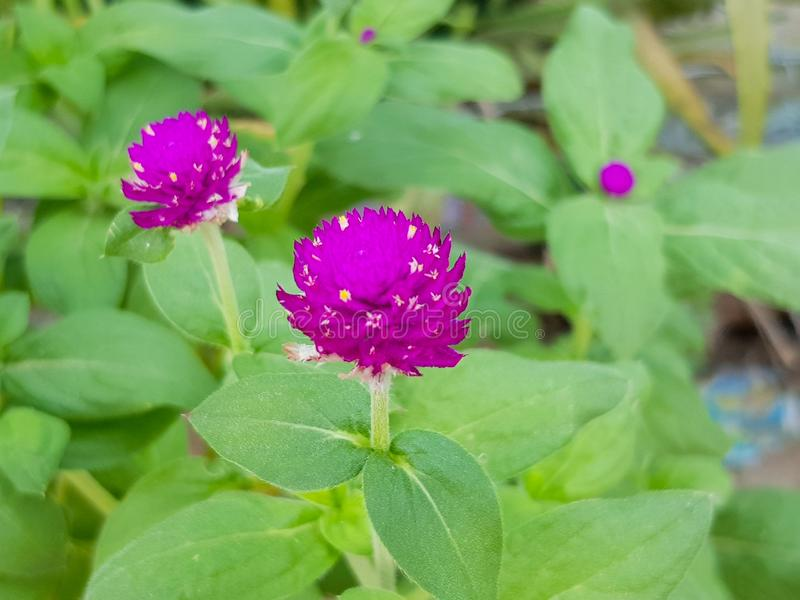 Purple amaranth In the public garden is blooming royalty free stock photography