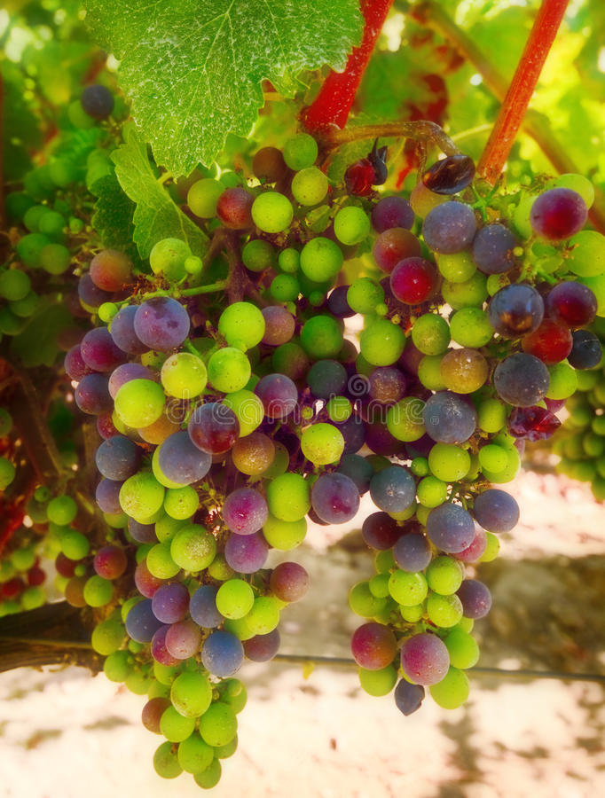 Free Purple And Green Wine Grapes, California Stock Photo - 15894960