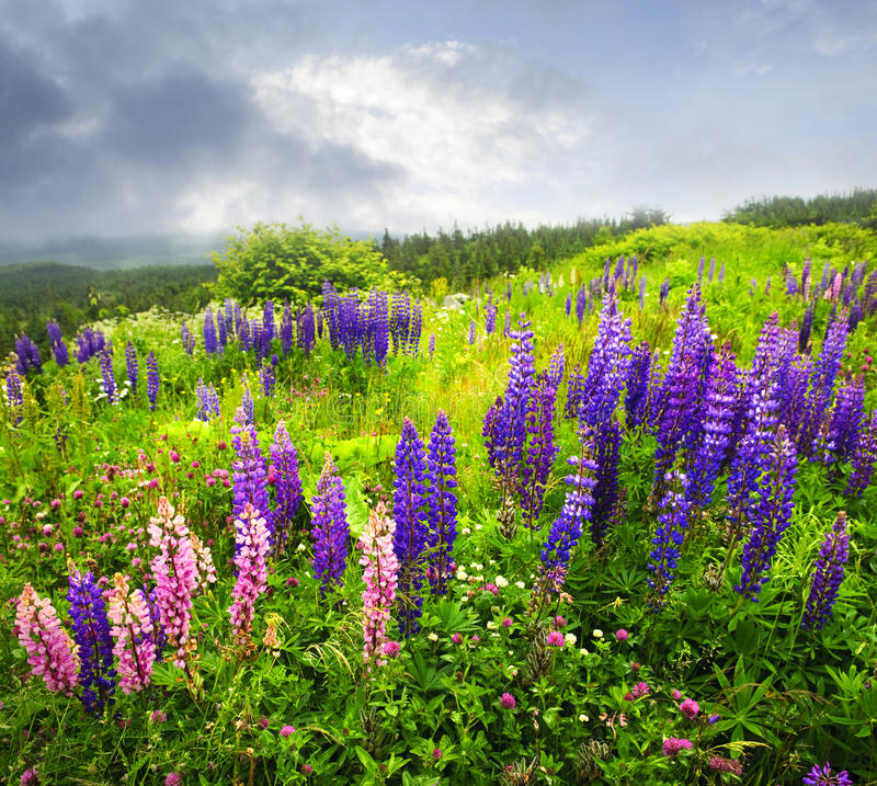 Free Purple And Pink Garden Lupin Flowers Royalty Free Stock Photos - 12089648