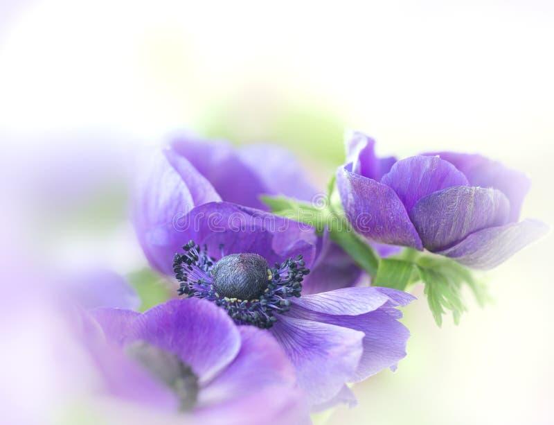 Purple anemone with bokeh stock photo