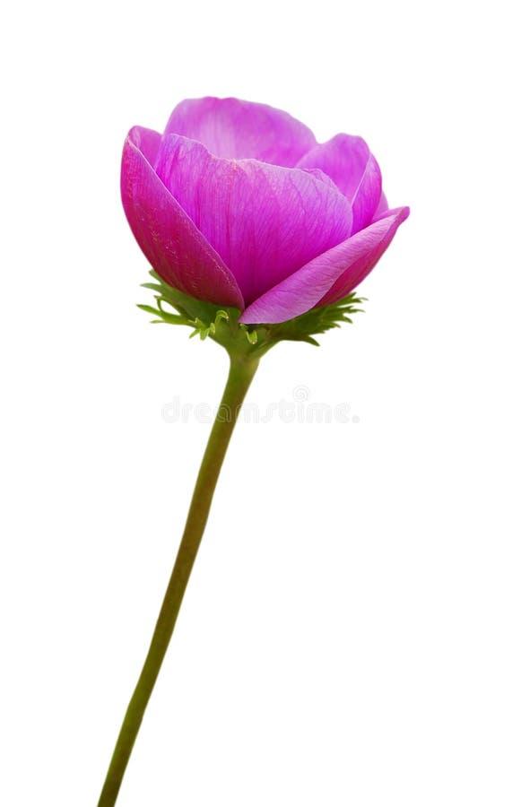 Download Purple anemone flower stock image. Image of leaf, flora - 24685977