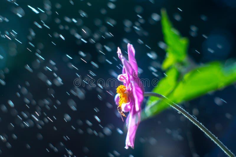 Purple anemone flower in the rain royalty free stock photo