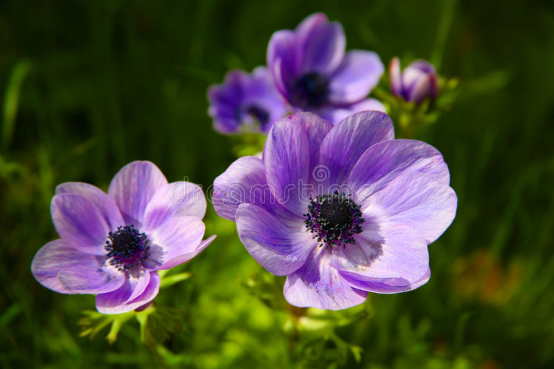 Download Purple Anemones Stock Photography - Image: 3433772