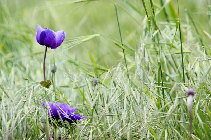 Purple anemones in the field royalty free stock photo