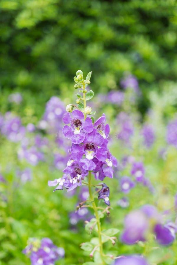 Purple angelface pin flowers. Field royalty free stock photo
