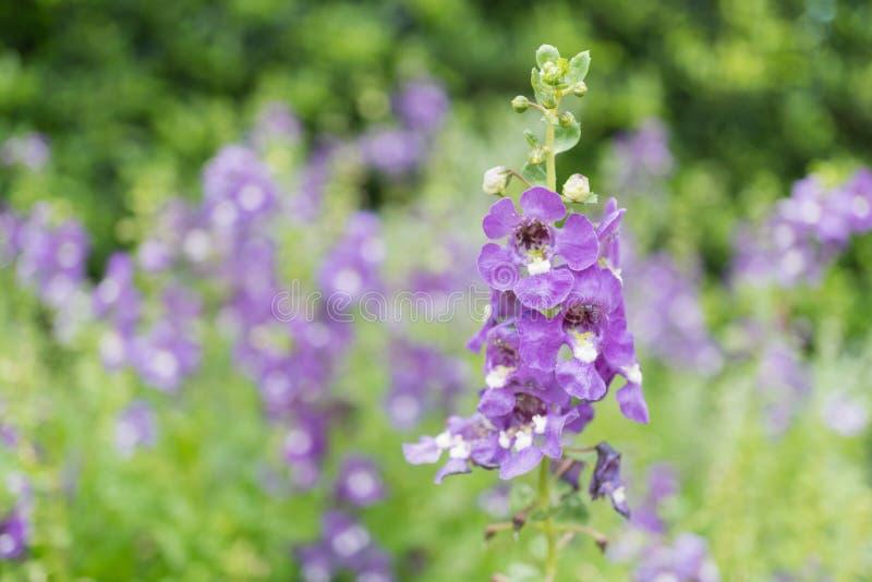 Purple angelface pin flowers. Field royalty free stock photos