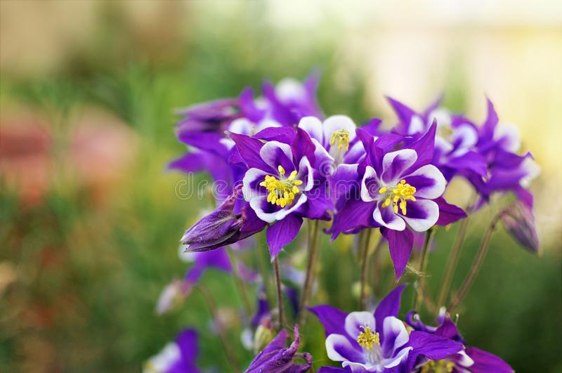 Purple aquilegia flowers in a garden with a blurred green background stock photography