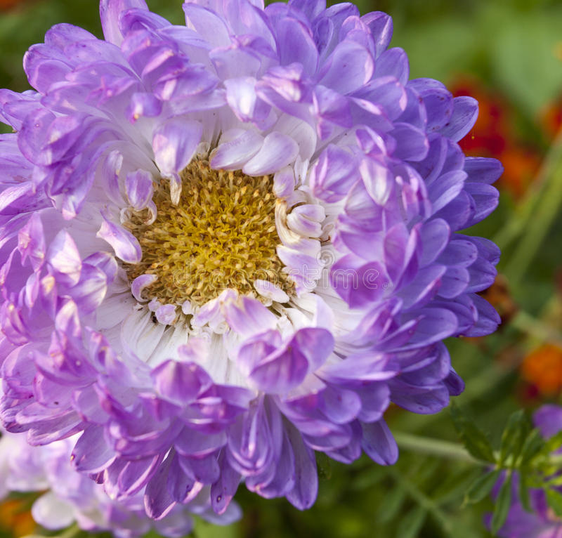 Purple aster royalty free stock photos