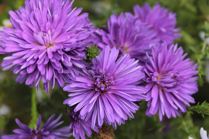 Purple Aster blooms in the flower bed. Purple Aster blooms in the autumn flower bed stock photos