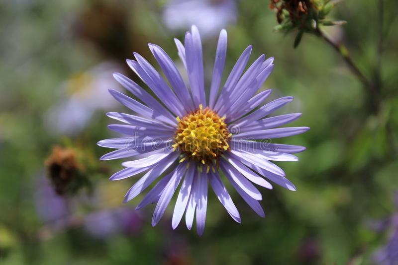 A Purple Aster blooms in a field. In early fall stock image