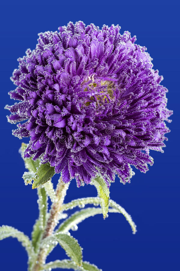 Purple aster covered with water droplets. Purple aster flower on a blue background covered with water droplets royalty free stock photos
