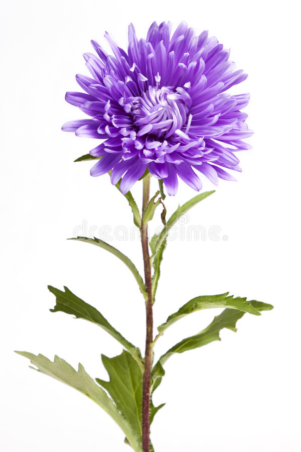 Free Purple Aster Flower Royalty Free Stock Images - 33746169
