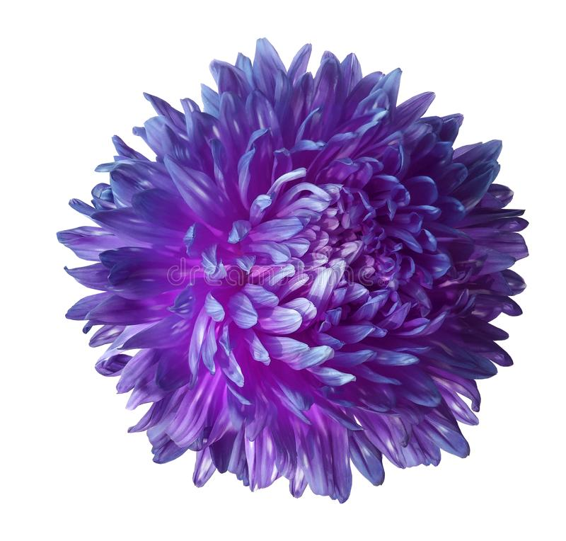 Purple aster flower isolated on white background with clipping path. Closeup no shadows. stock photos