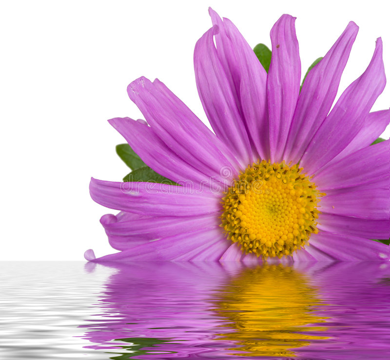 Purple aster in water. Close-up fresh purple aster in water, isolated on white royalty free stock photos