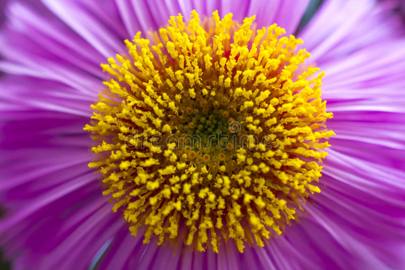 Purple aster stock photography