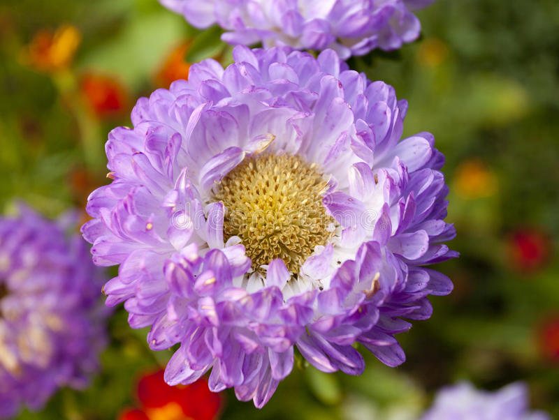 Purple asters royalty free stock photo