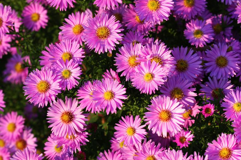 Purple aster flowers over green background. Purple asters autumn flower background. Autumn flowers stock photos