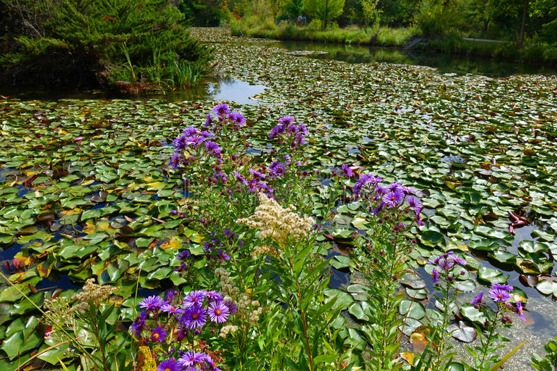 Purple Asters & Water Lilies - Boise, Idaho. Purple asters blooming beside a pond in Boise, Idaho royalty free stock photography