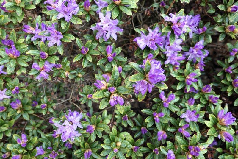 Purple Azalea blossom in springtime. full frame royalty free stock images